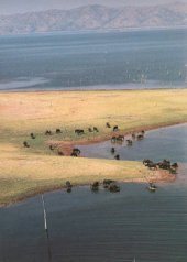 Buffalo herds on the shores of Lake Kariba