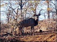 Kudu in the bush near Zambia Wilderness Ranch