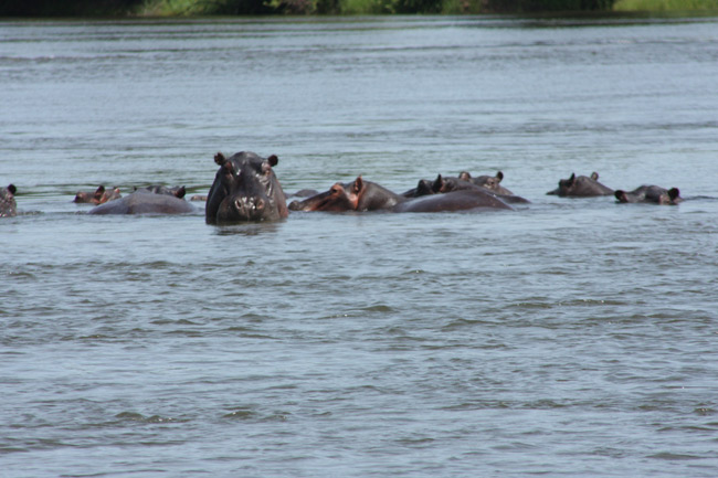 Hippos in the River, Chobe National Park, Botswana
