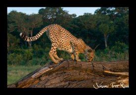 Sikumi Cheetah