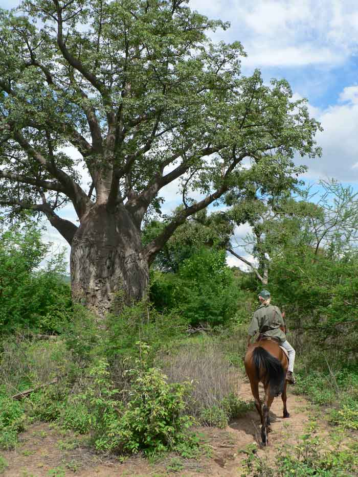 horse riding past a Boabab tree