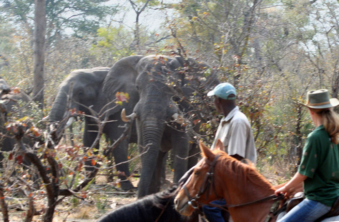 horse back safari riders watch elephant