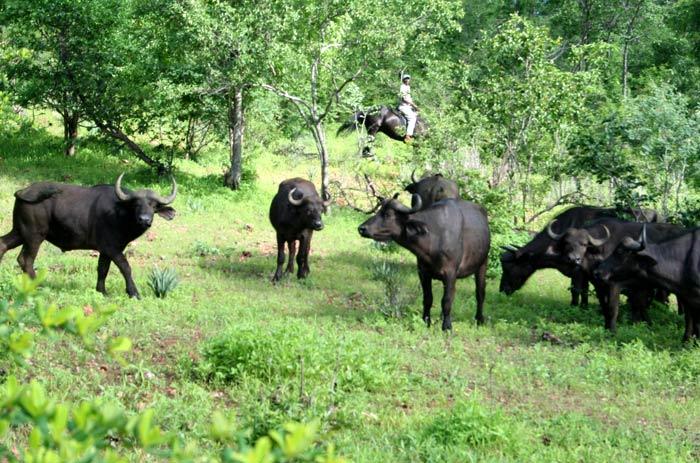 buffalo and horses