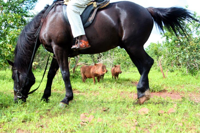 horse safari and warthog