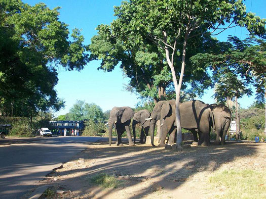 African Elephants wander through Victoria Falls town in Zimbabwe