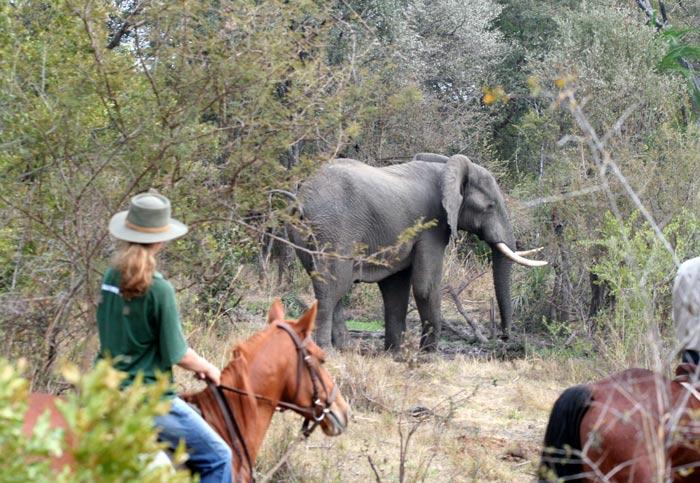Elephant spotted on a horse back safari - Victoria Falls, Zimbabwe