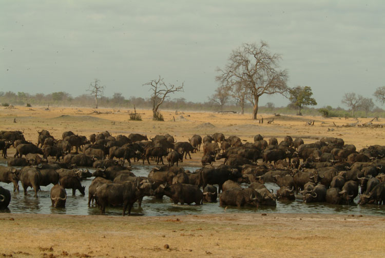 Buffalo herd in Hwange National Park during the dry season - Zimbabwe.