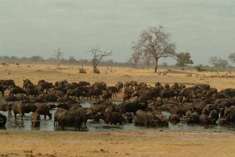 Buffalo herd in Hwange National Park during the dry season - Zimbabwe.