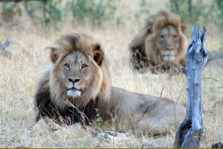Lions - Hwange National Park, Zimbabwe