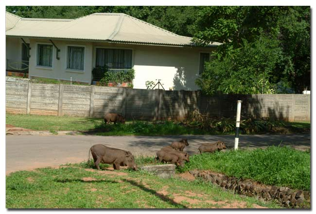 Warthogs in Victoria falls town