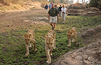 Lion walk in Victoria Falls