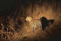 A leopard spotted on a night drive - Victoria Falls, Zimbabwe