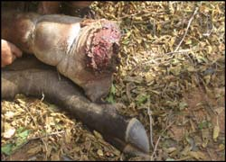 Swollen buffalo leg caught in snare