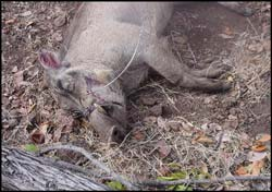Warthog caught in snare