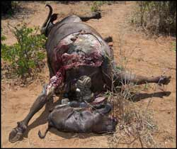 Female buffalo killed by poachers