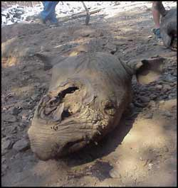 Commercial Rhino Horn poaching is a very serious threat