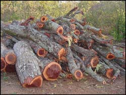 Volumes of Mahogany trees are cut down to make curios