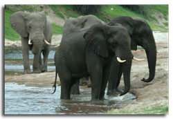 Elephants playing in the Chobe River