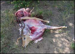 skinned impala