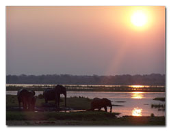 Elephants by the Zambezi River banks at sunset - Zimbabwe