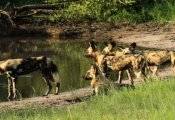 Wild dogs at the waterhole - Hwange National Park, Zimbabwe