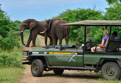 Elephants on a game drive through Zambezi National Park near Victoria Falls, Zimbabwe