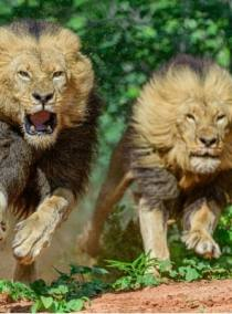 Walk with lions and then interact with the largest land mammal in the world! Victoria Falls activity discounted package