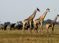 Beautiful giraffe with elephants in the background in Chobe National Park