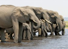 Elephants drinking along the banks of the Chobe River