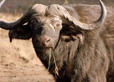 Buffalo in the bush - Chobe National Park