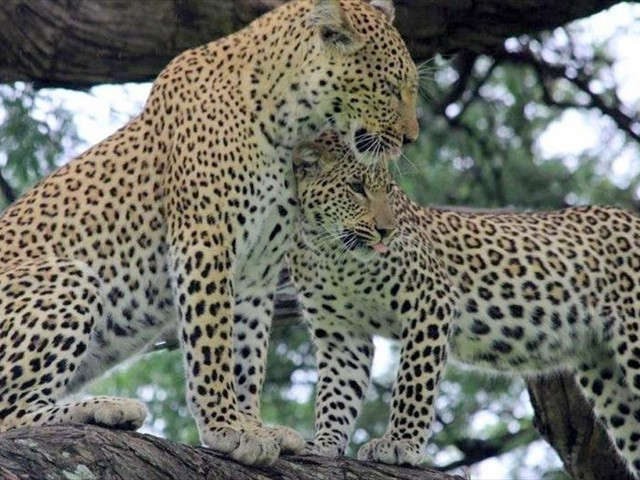 Leopards seen on a game drive in Chobe National Park
