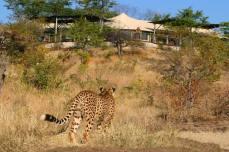 Sylvester the cheetah at Elephant Camp - Victoria Falls, Zimbabwe