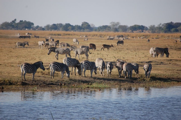 Beautiful zebra herd along the Chobe iver - Botswana