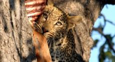 Leopard kill seen on a game drive in Hwange, Zimbabwe