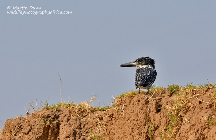 Giants Kingfisher in Mana Pools. Image by Wildlife Photography Africa