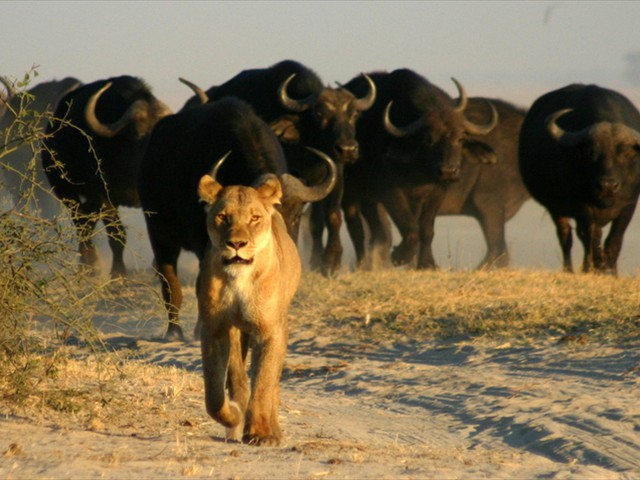 Lion and buffalo in Chobe National Park