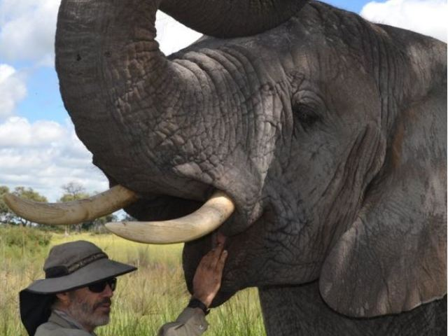 Elephant interaction with the resident ellies on Chief's Island in Moremi Game Reserve, Okavango Delta, Botswana