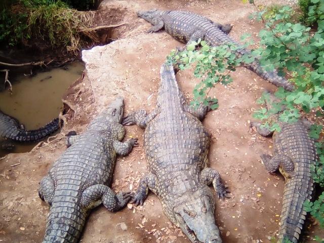 Crocodile at the Spencer Creek Crocodile Farm in Victoria Falls, Zimbabwe