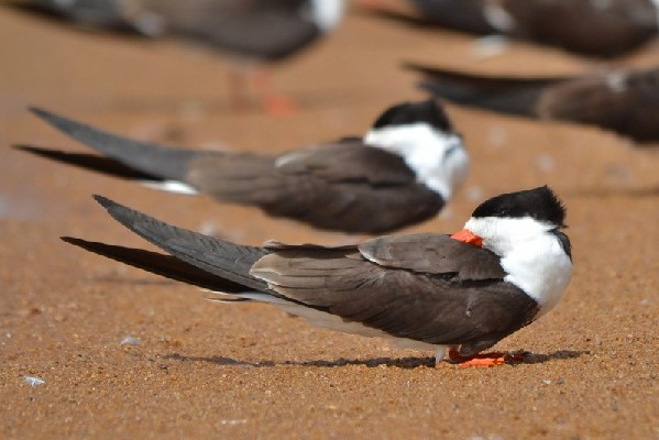 African Skimmer seen on a birding safari