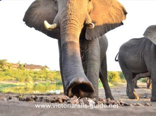 Elephants up close at the Siduli Hide - Victoria Falls Safari Lodge
