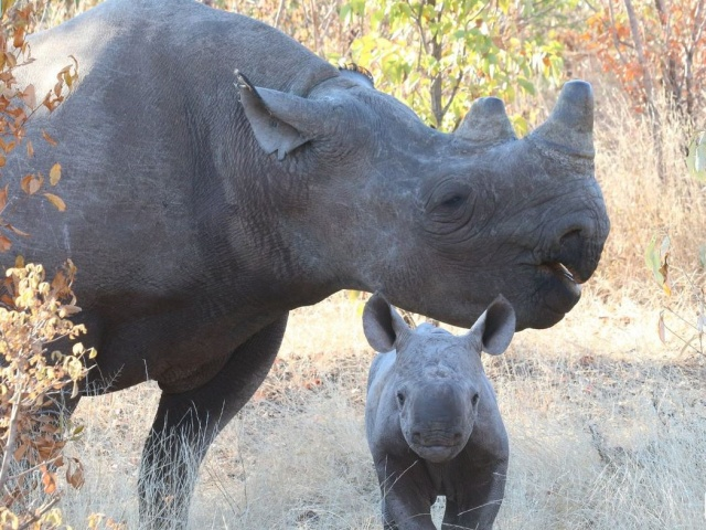 Afternoon game drive, rhino search, night drive and bush dinner in Victoria Falls, Zimbabwe