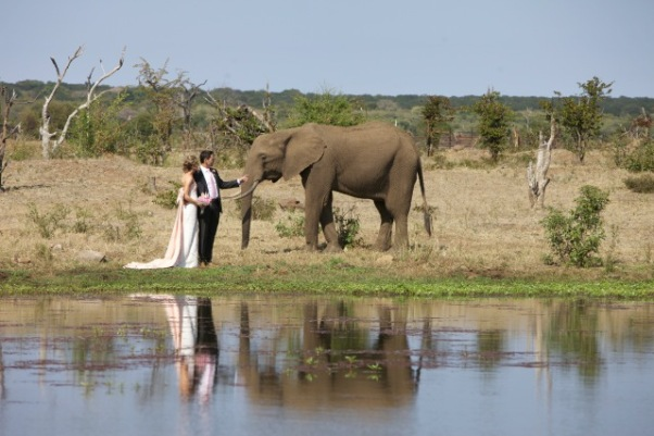 A wedding couple in Victoria Falls interacting with elephants