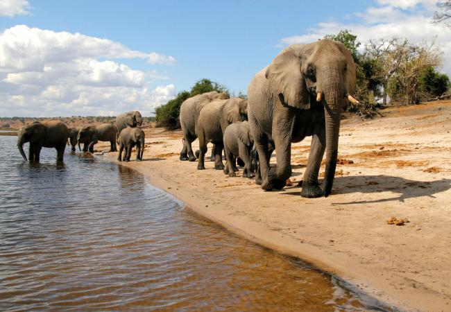 Elephants strolling along the Chobe River
