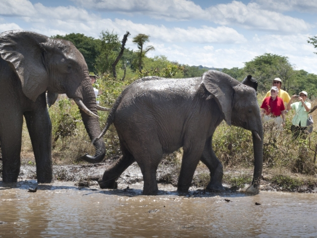 Elephants in the water at an Elephant Encounter activity in Victoria Falls, Zimbabwe