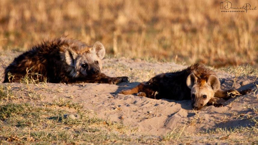 Spotted hyenas in Africa