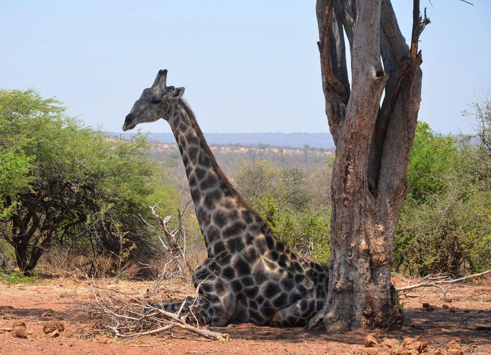 Sitting or sleeping position - African giraffe in Zambezi National Park near Victoria Falls, Zimbabwe