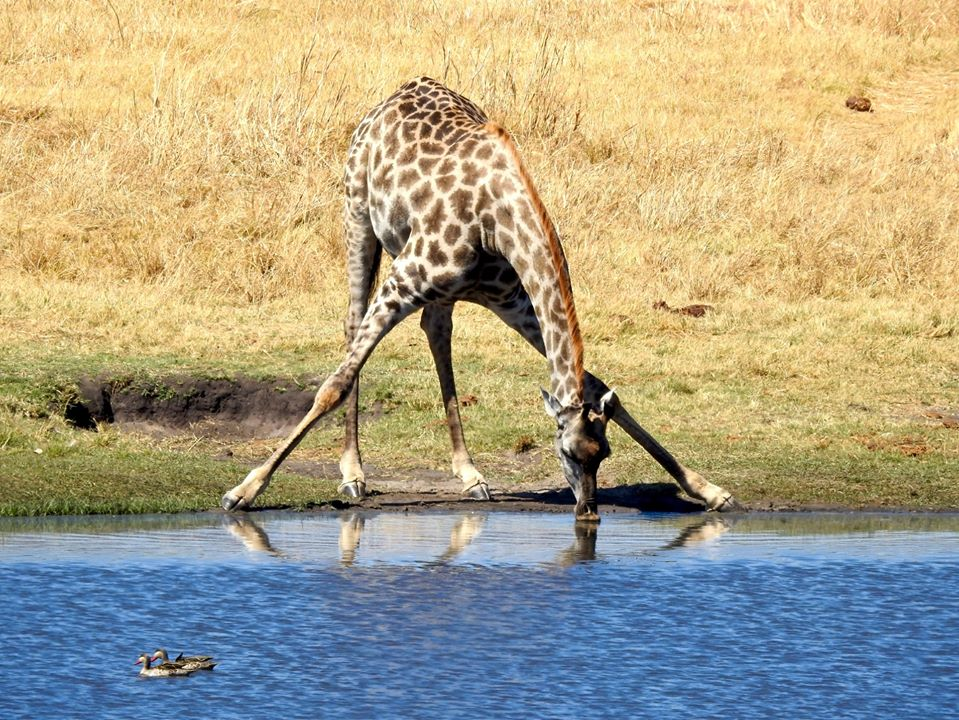 Girrafe drinking water...Front legs apart. Victoria Falls, Zimbabwe