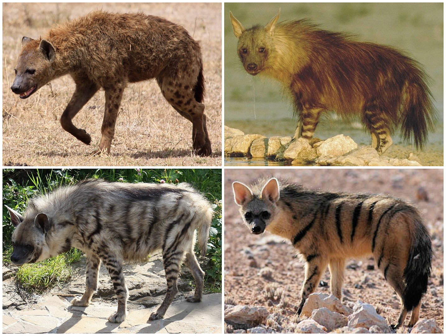The Hyenas of Africa