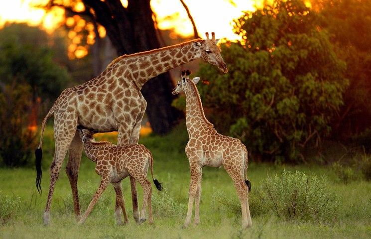 Giraffe in the Okavango Delta, Botswana
