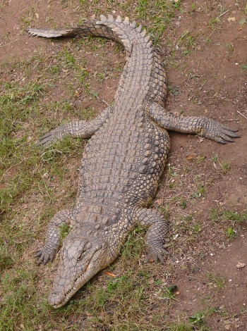 Nile crocodile (by Zachi Evenor)